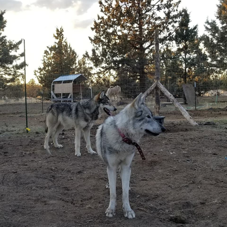 Puppies for Sale - Wild West Wolfdogs